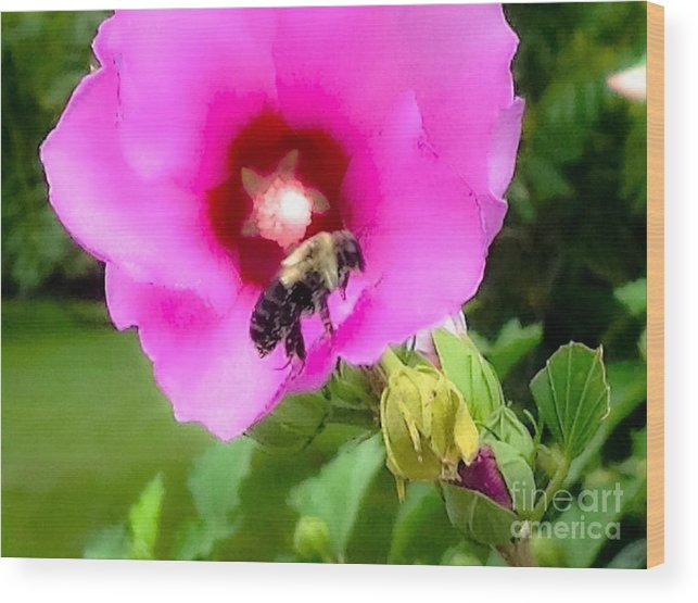 Photograph Wood Print featuring the photograph Bee On Edge Of A Hibiscus Flower by Debra Lynch
