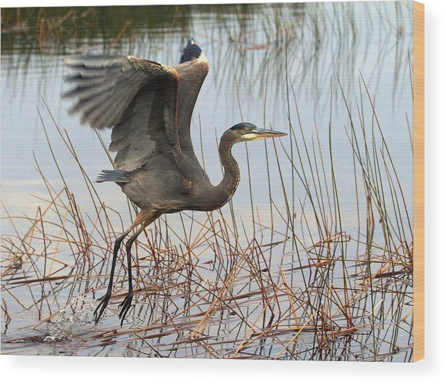 Great Blue Heron Wood Print featuring the photograph Blue Heron 1 by Peter Gray
