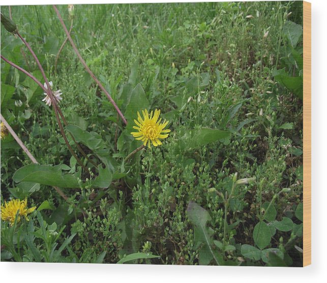Dandelion Wood Print featuring the photograph Dandelion by Chris Meyers