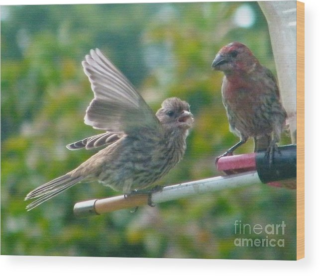 Birds Wood Print featuring the photograph Female And Male Crossbills  August Indiana by Rory Cubel