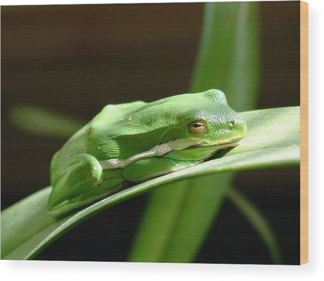 Frog Wood Print featuring the photograph Florida Tree Frog by Ned Stacey