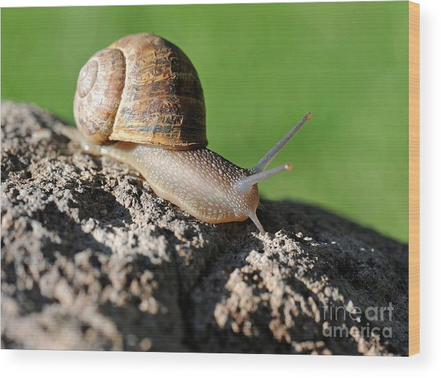 Snail Wood Print featuring the photograph Garden Snail by Dennis Hammer