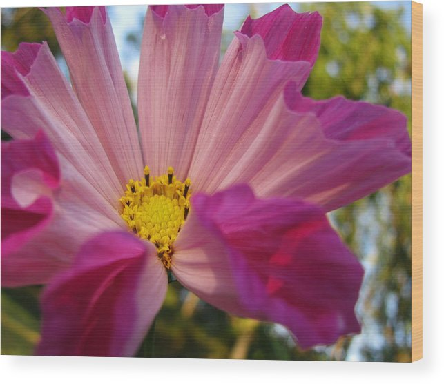 Flower Wood Print featuring the photograph Hot Cosmo by Gloria Byler