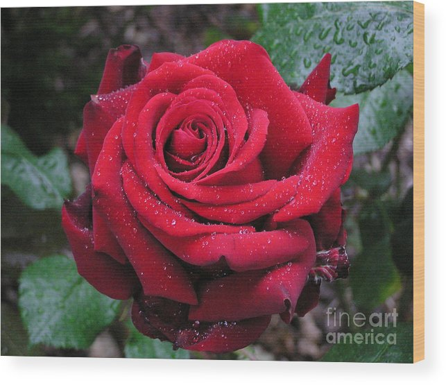 Rose Wood Print featuring the photograph Icy Rose by Louise Magno