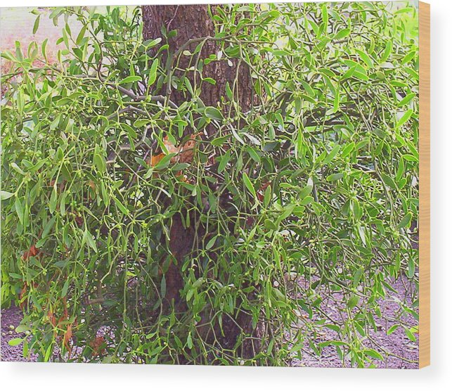 Mistletoe Wood Print featuring the photograph Mistletoe by Maggie Insh