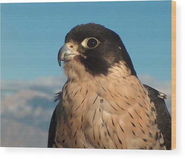 Peregrine Falcon Wood Print featuring the photograph Peregrine Falcon by Tim McCarthy
