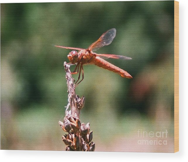 Dragonfly Wood Print featuring the photograph Red Dragonfly II by Dean Triolo
