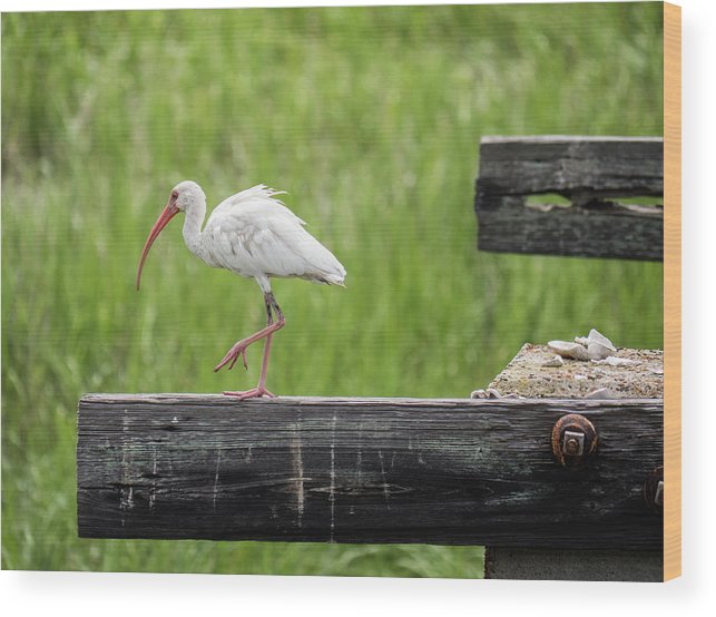 White Ibis Wood Print featuring the photograph White Ibis Stepping Out by David Ramage