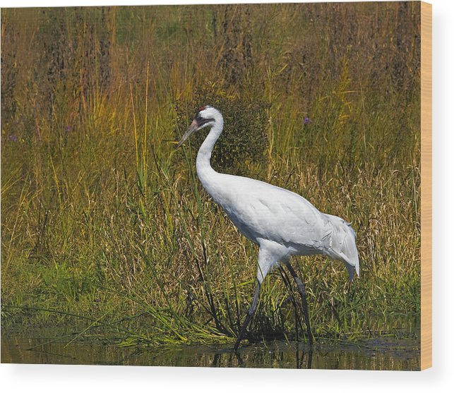 whooping Crane Wood Print featuring the photograph Whooping Crane by Al Mueller