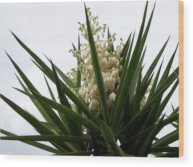 Flowers Botanical Photograph Cactus Rain Drops Landscape Fall Photograph Plants White Green Garden Wood Print featuring the photograph Yucca Flowers by Evelyn Patrick