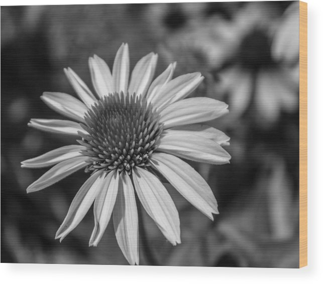 Daisy Wood Print featuring the photograph Conehead Daisy In Black And White by Arlene Carmel