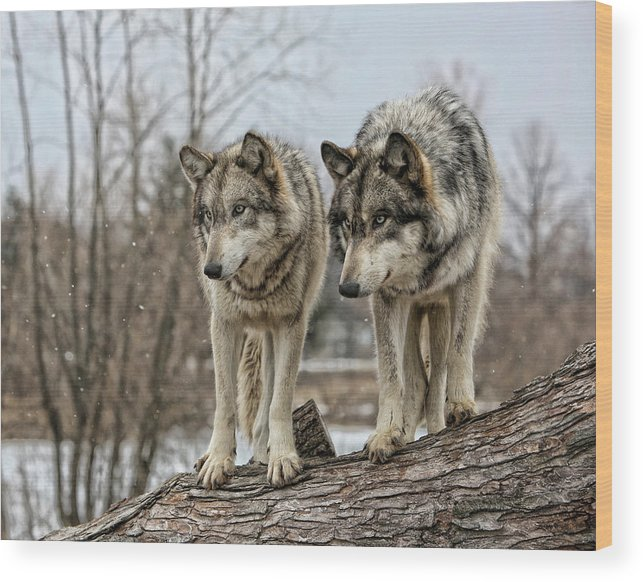 Wolf Wolves Animal Wildlife Mammal Photography Photograph Canis Lupis Grey Timberwolf Wood Print featuring the photograph Wolf Pair by Shari Jardina