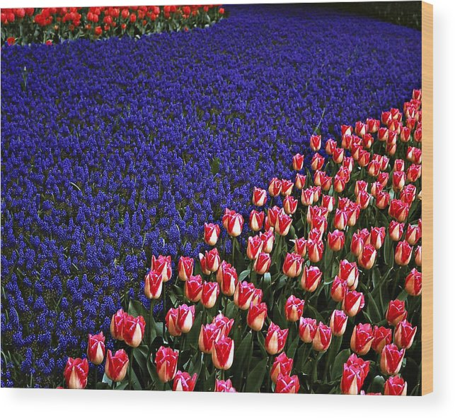 Outdoor Garden Wood Print featuring the photograph Blend Of Tulips by Michael Faryma