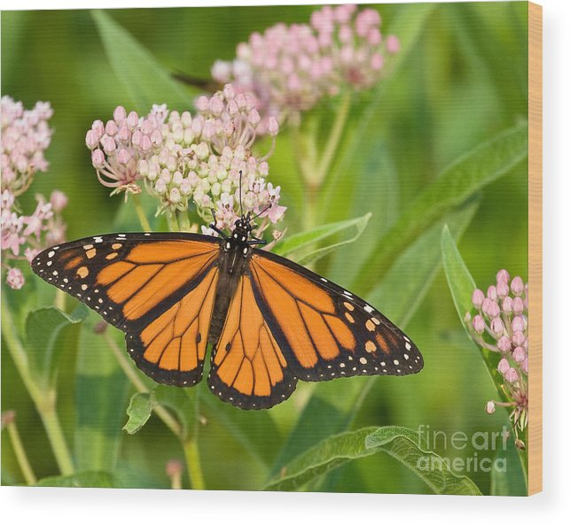 Monarch Butterfly Wood Print featuring the photograph Monarch On Pink by Dale Nelson