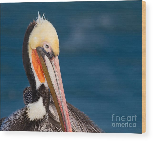 Brown Pelican Wood Print featuring the photograph Pensive Pelican by Dale Nelson