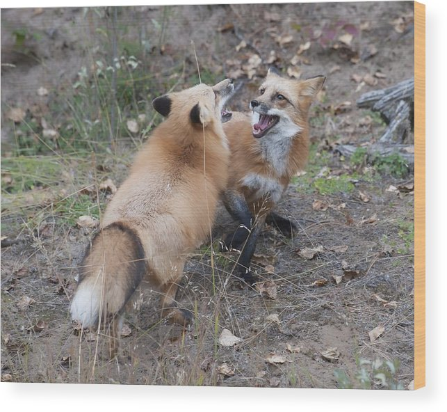 Wood Print featuring the photograph Dualing Red Foxes by Ken Cornett