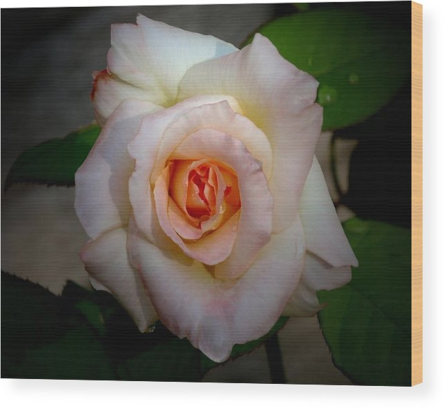 Rose Wood Print featuring the photograph Rose Blushing After Rain by B Nelson
