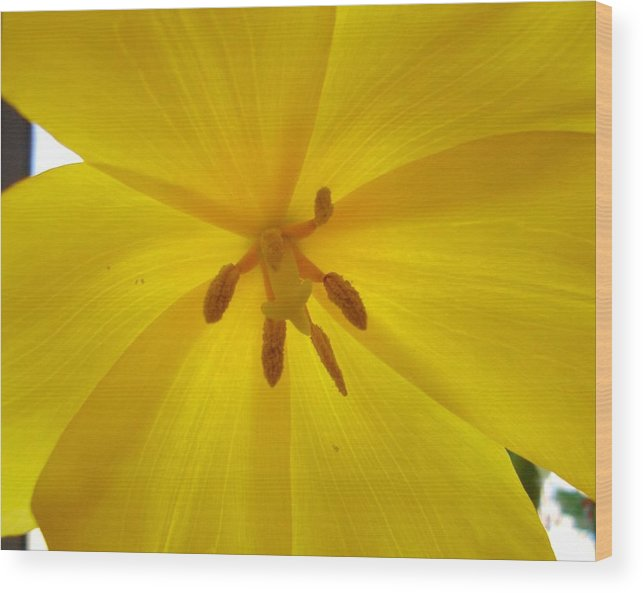 Yellow Wood Print featuring the photograph Tulip Light by Lessandra Grimley