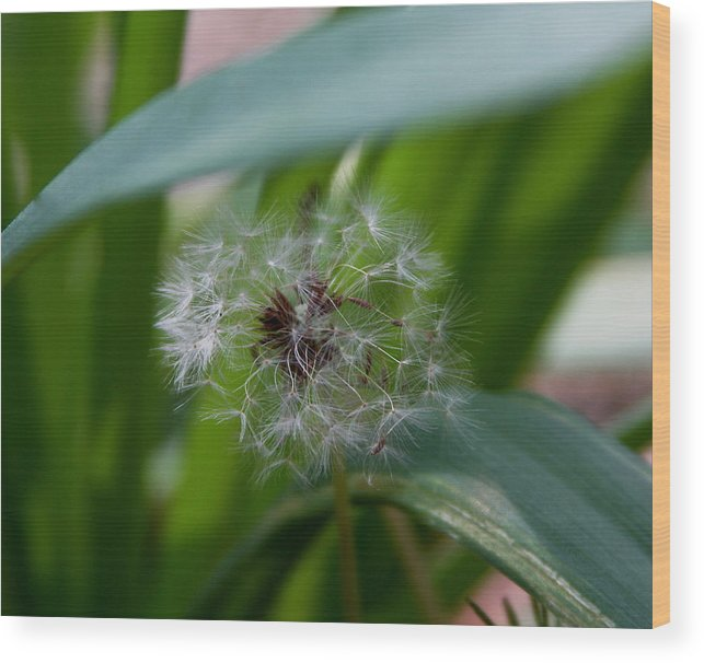 Dandelion Wood Print featuring the photograph Make A Wish by Kenna Westerman