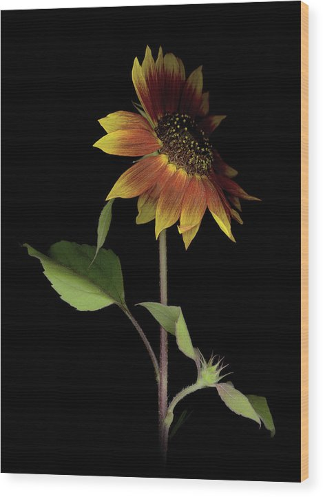 Wood Print featuring the photograph Sunflower With A View by Sandi F Hutchins