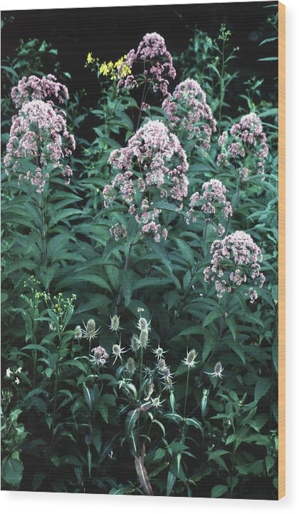 Wildflower Wood Print featuring the photograph 92347-17 by Mike Davis