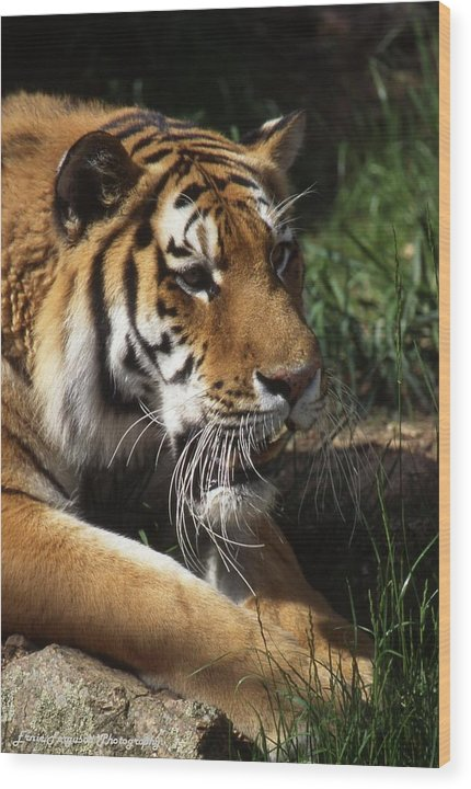 Animal Wood Print featuring the photograph Big Cat by Ernie Ferguson