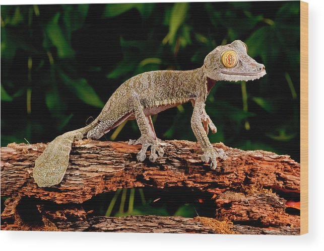 A Leaping Leaf-Tailed Gecko Canvas Picture Poster Art