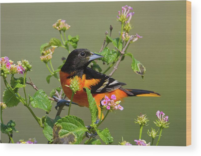 Adult Wood Print featuring the photograph Baltimore Oriole (icterus Galbula by Larry Ditto