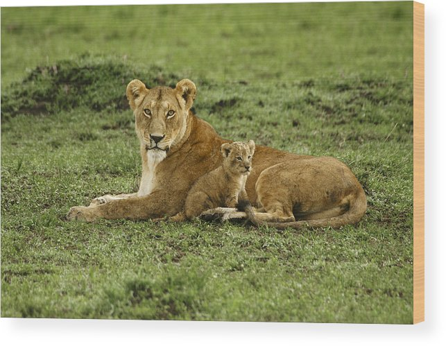 Lion Wood Print featuring the photograph Mama's Little Baby by Michele Burgess