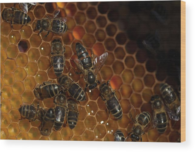 Worker Bees Wood Print featuring the photograph A Queen Bee Walks In The Center by Chico Sanchez