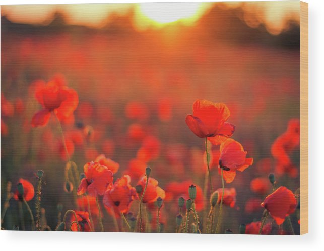 Tranquility Wood Print featuring the photograph Beautiful Sunset Over Poppy Field by Levente Bodo