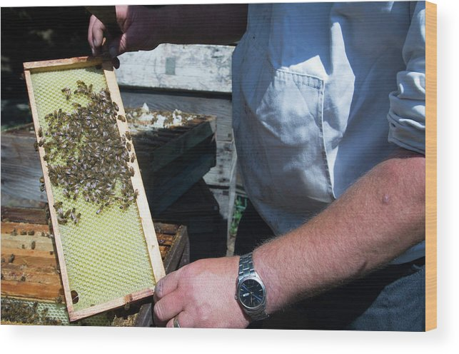 Apis Mellifera Wood Print featuring the photograph Beekeeper Holding A Brood Frame by Louise Murray/science Photo Library