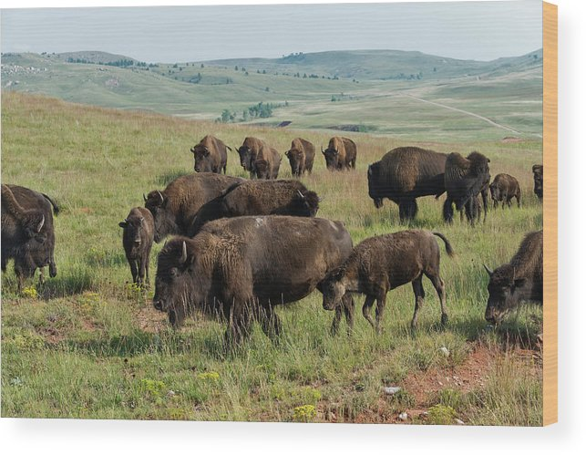 Grass Wood Print featuring the photograph Bison Buffalo In Wind Cave National Park by Mark Newman
