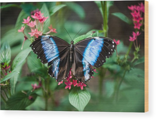 Flower Wood Print featuring the photograph Black and Blue Wings by Paul Johnson