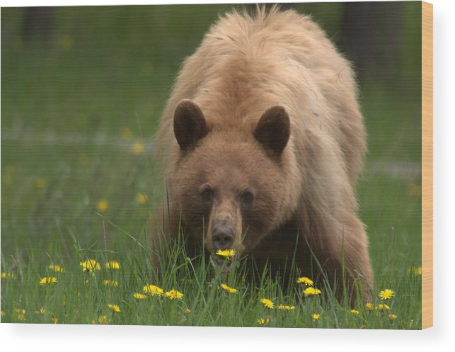 Bear Wood Print featuring the photograph Black Bear by Frank Madia
