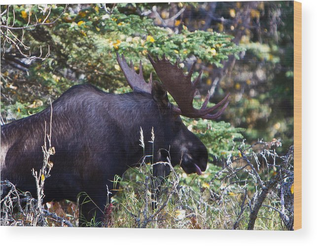 Wood Print featuring the photograph Bull Moose by Richard Jack-James