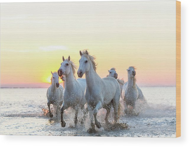Animal Themes Wood Print featuring the photograph Camargue White Horses Running In Water by Peter Adams