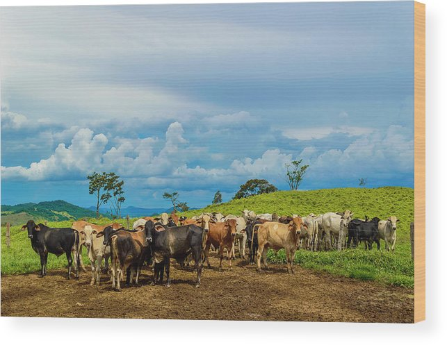 Grass Wood Print featuring the photograph Cattle by Kcris Ramos