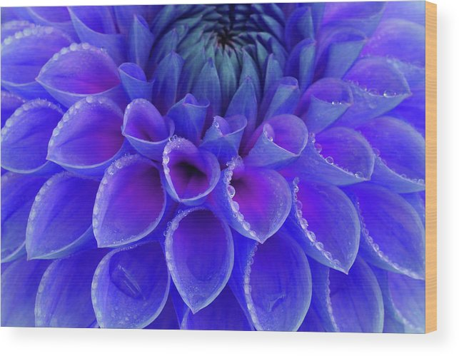 Haslemere Wood Print featuring the photograph Centre Of Blue And Purple Dahlia Flower by Rosemary Calvert