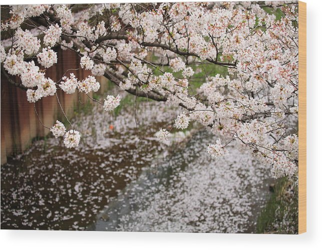 Season Wood Print featuring the photograph Cherry Blossoms by Photography By Zhangxun