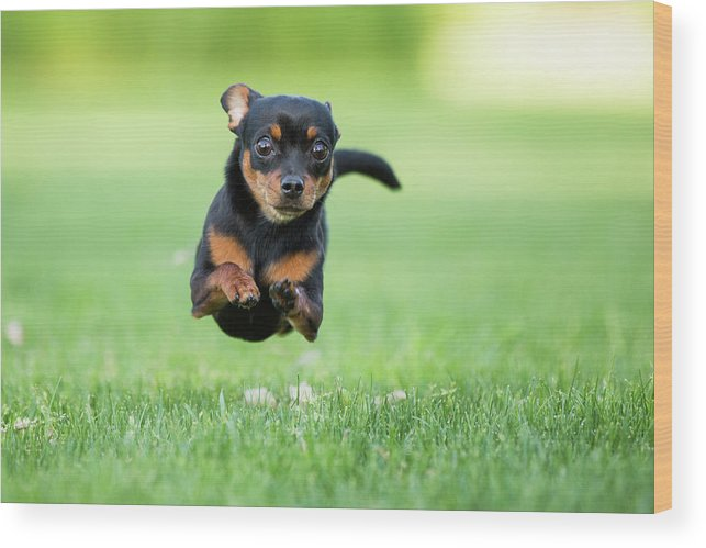 Pets Wood Print featuring the photograph Chihuahua Dog Running by Purple Collar Pet Photography
