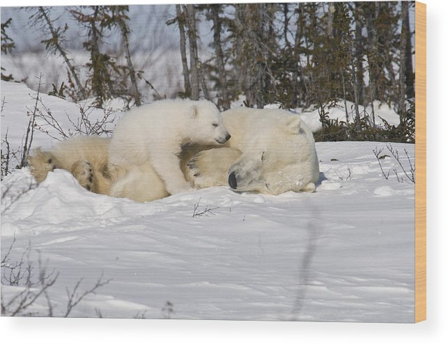 Arctic Wood Print featuring the photograph Childs love by Richard Berry