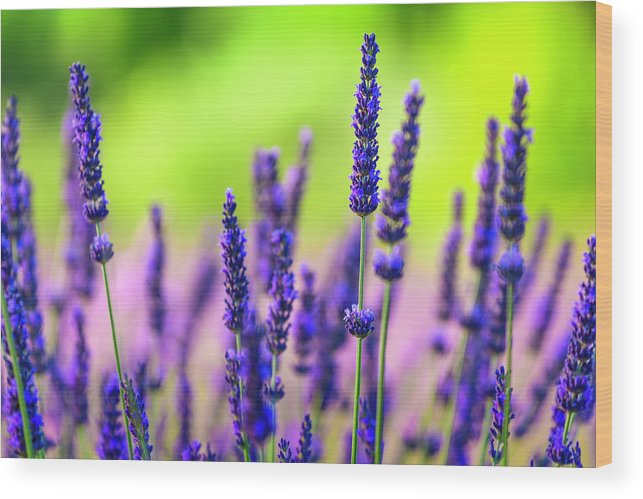Close Up Of Lavender Flowers In A Field Wood Print By Spooh