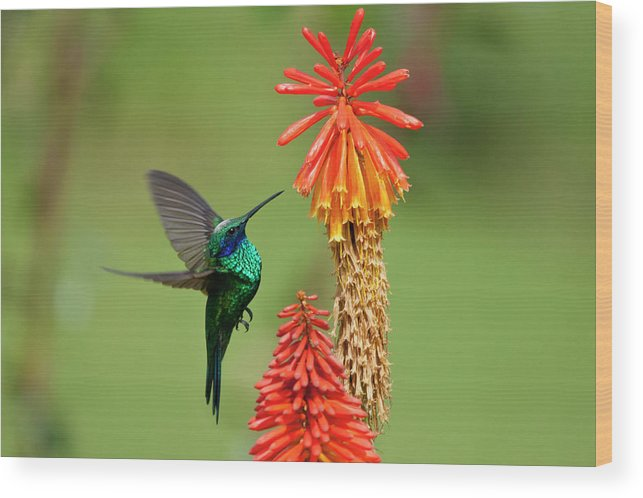 Animal Themes Wood Print featuring the photograph Colibri Coruscans by Photo By Priscilla Burcher