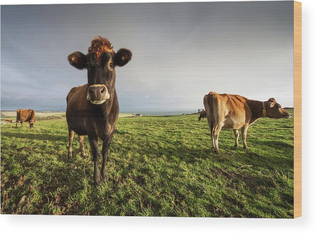 Grass Wood Print featuring the photograph Cows In A Field With One Cow Staring At by John Short / Design Pics