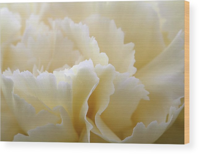 Netherlands Wood Print featuring the photograph Cream Coloured Carnation, Close-up by Roel Meijer