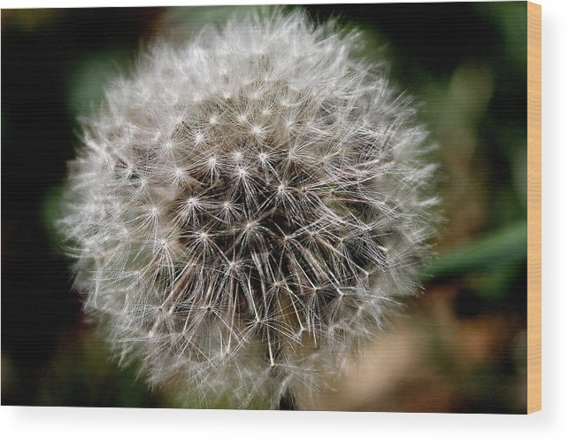 Dandelion Wood Print featuring the photograph Death's Beauty by Candice Trimble