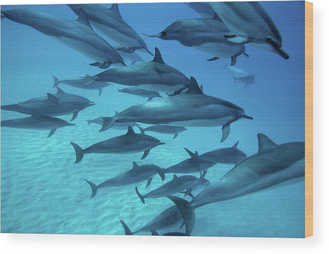 Underwater Wood Print featuring the photograph Dolphins Spinners by M Swiet Productions