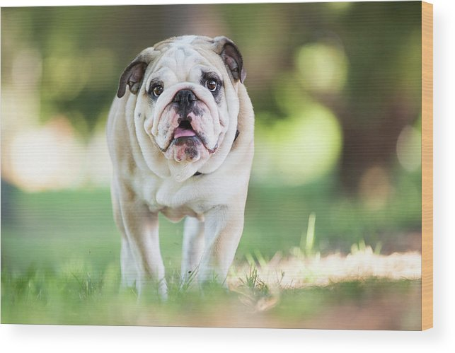 Pets Wood Print featuring the photograph English Bulldog Puppy Walking Outdoors by Purple Collar Pet Photography