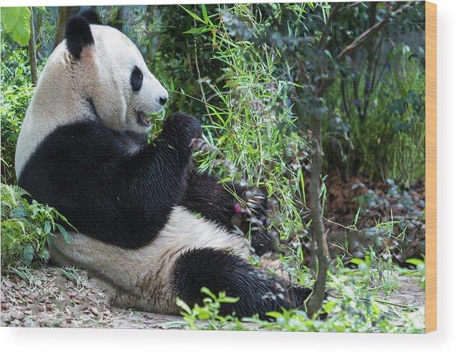 Panda Wood Print featuring the photograph Giant Panda by Manoj Shah